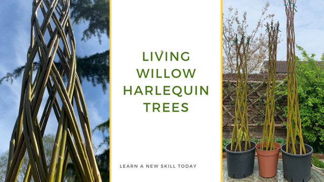 Living Willow Harlequin Trees