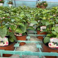 Upright Hardy Bush Garden News