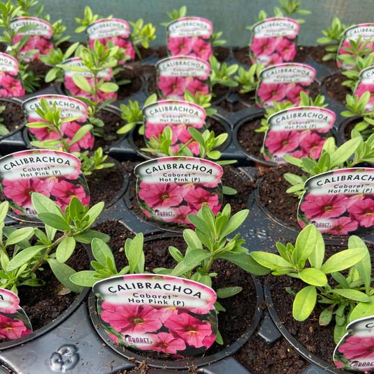 Calibrachoa Caberet Hot Pink