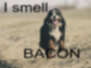 I smell bacon.png