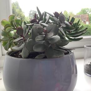 Why Do Succulents Change Colour?