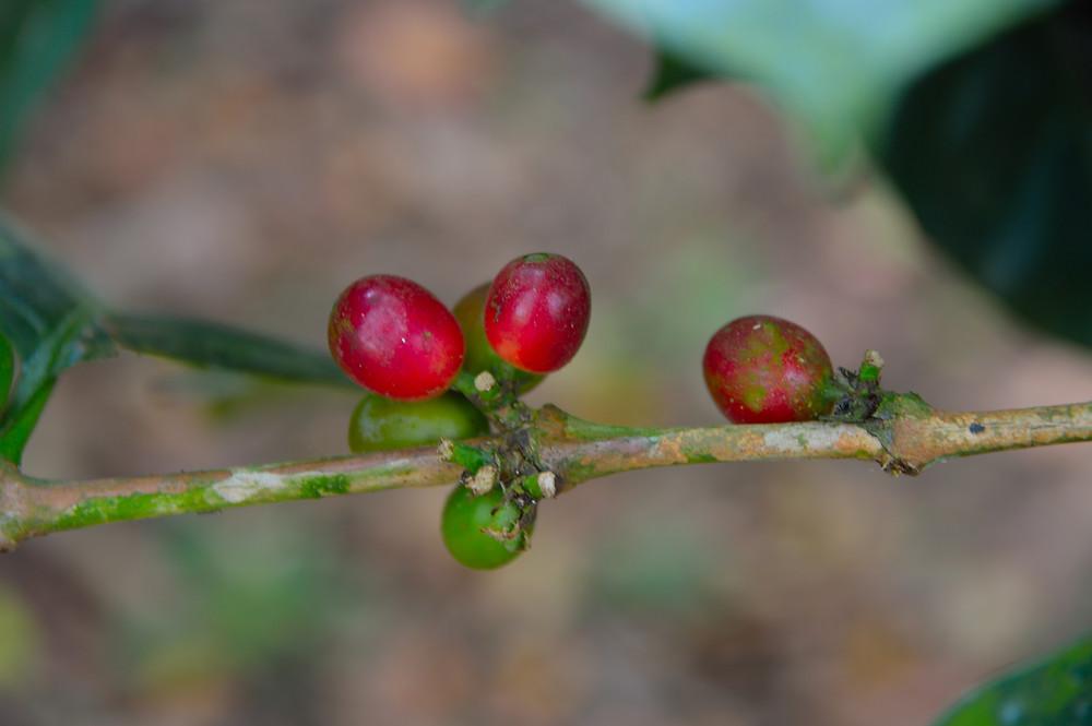 Ripe coffee cherries.