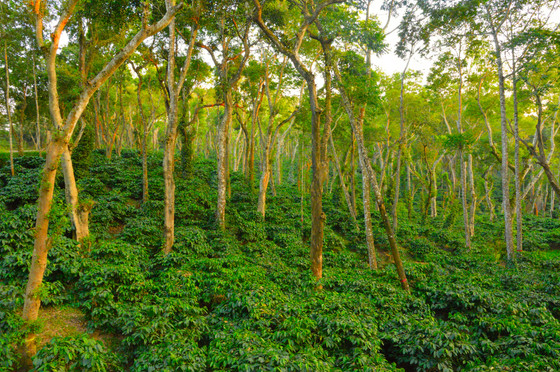 The coffee economy booms, the Amazon forest vanishes! So, what is the solution?