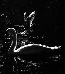 Swan & Seagull