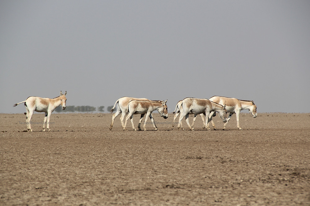 The wild ass is walking in the high temperature of the arid land of Little Rann of Kutch, in search of fodder and sweet water. The guy at the end is caught in action, pooping.