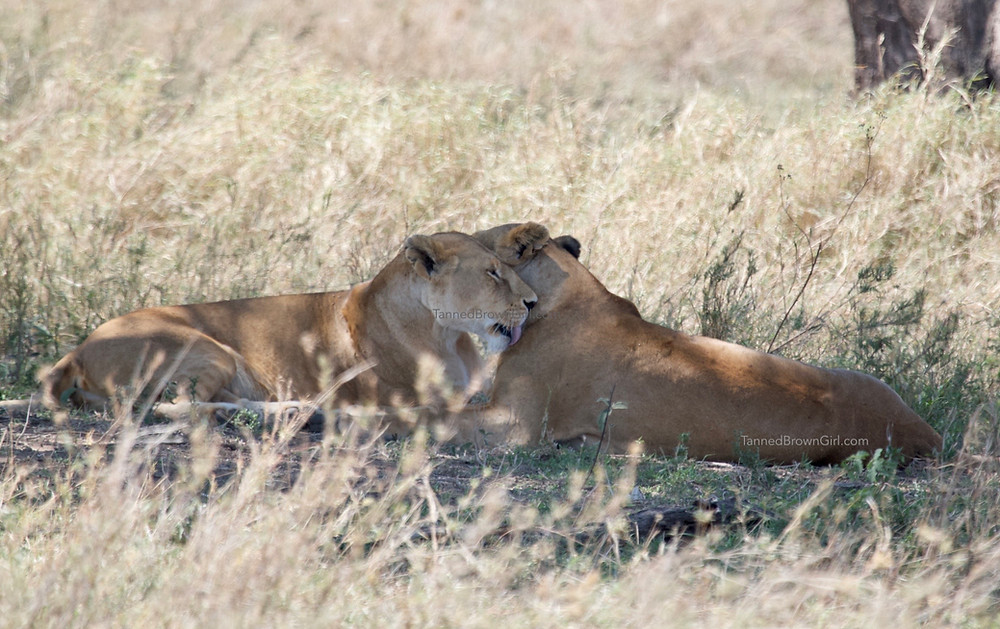 Two lionesses appearing to be in a romantic embrace
