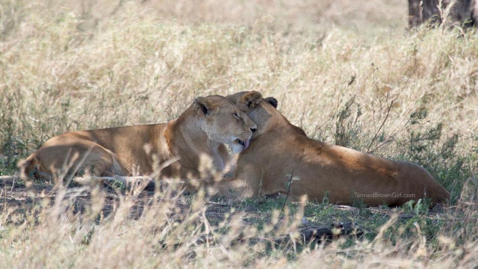 HOMOSEXUALITY AMONG LIONS?