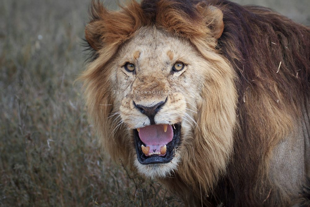 A lion roars angrily at me in Serengeti, Tanzania