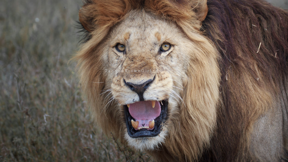 When a lion roared in my face