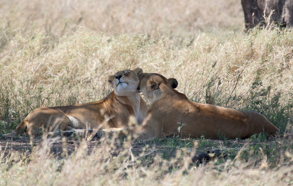 Two lionesses nuzzling and necking