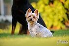 portrait animalier chien yorkshire animaux animal