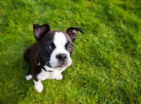 boston-terrier-puppy-sitting-and-looking