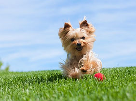 yorkshire-terrier-dog-running-on-grass.j