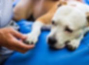 dog-lying-in-home-with-owner-holding-paw
