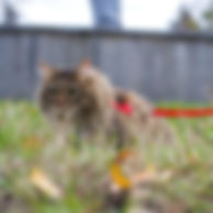 cat-leash-getty-769787307_sq.jpg