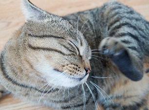 fleas-cats-1024x680.jpg