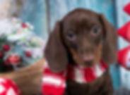 christmas-puppy.jpg