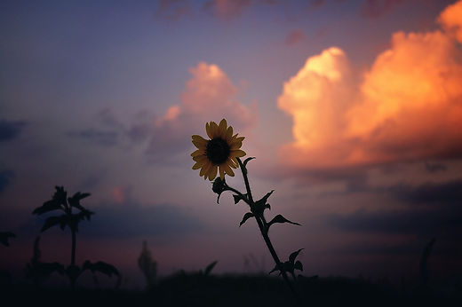 sunset-sunflower-in-the-clouds-texas.jpg