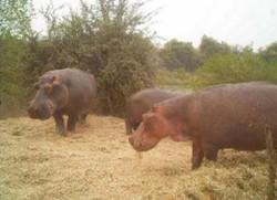Hippos eating 2