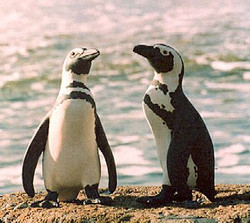 Jackass Penguins by the Sea