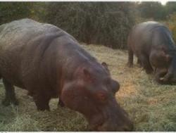 Hippos eating