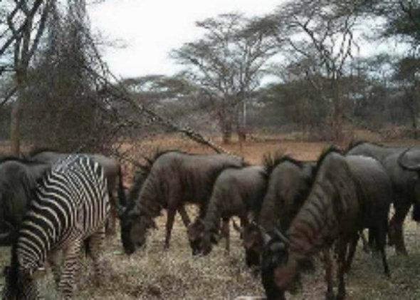 Zebra & Wildebeest