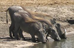 Warthogs in Hwange