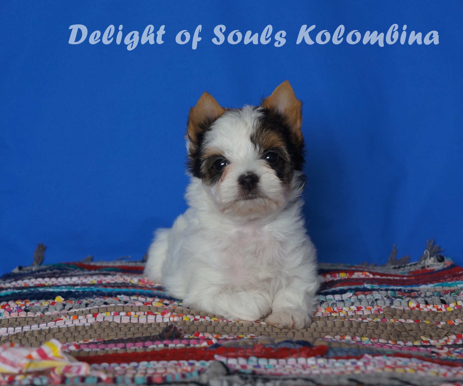 Delight of Souls Kolombina