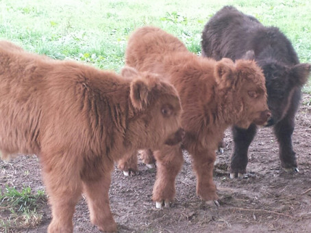 Baby Highlands