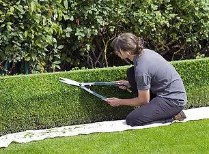box-hedge-topiary-shears-gardener-trimmi