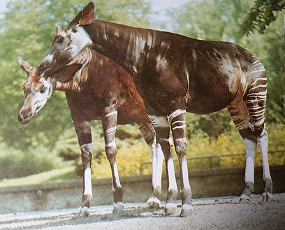 Okapis.jpg