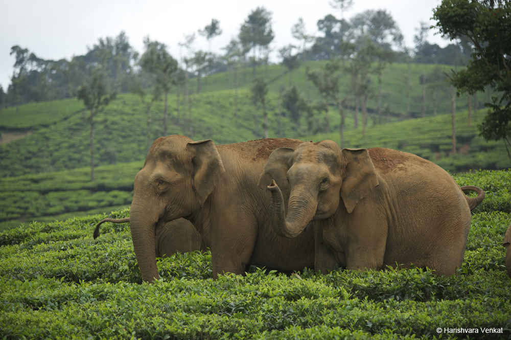 Elephants in Munnar Hills