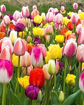 Tulipo.jpg
