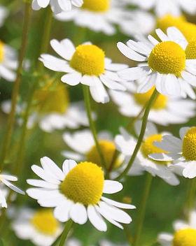 camomilla-fiori.jpg