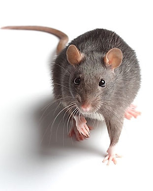 Ratto.jpg