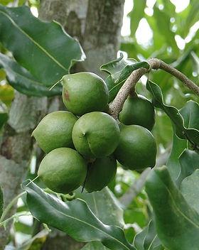 macadamia-frutto.jpg