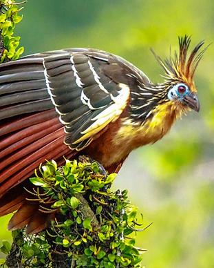 Hoatzin.PNG