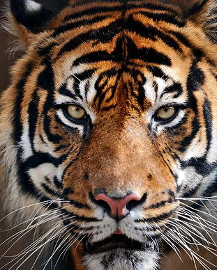 istock-tigre.jpg