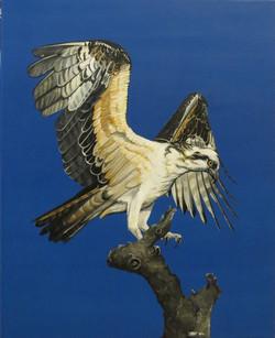 Osprey, 2015