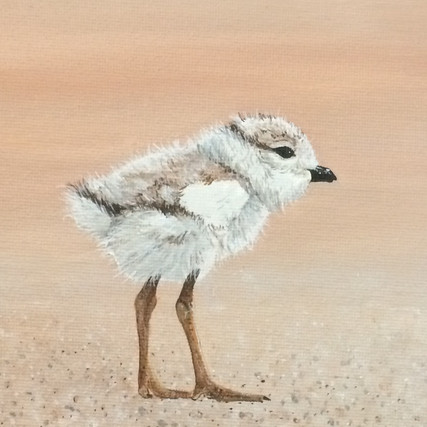 Piping Plover Chick, 2018