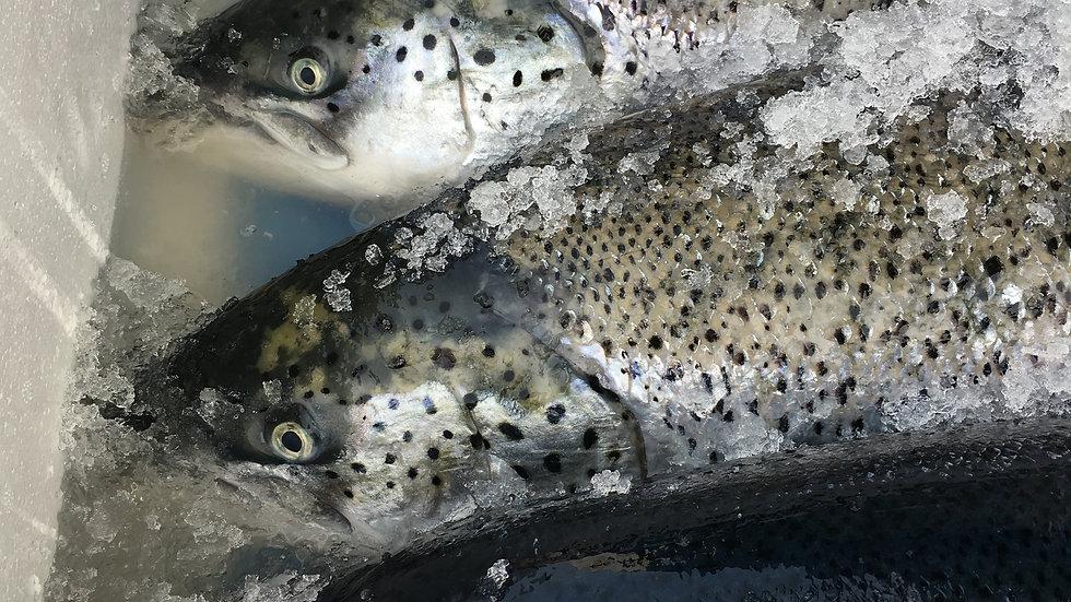 생연어 도매 kg당