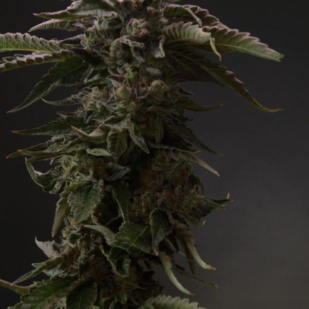 Grower Series Ep 3 (1).mp4