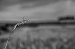 Single wheat plant