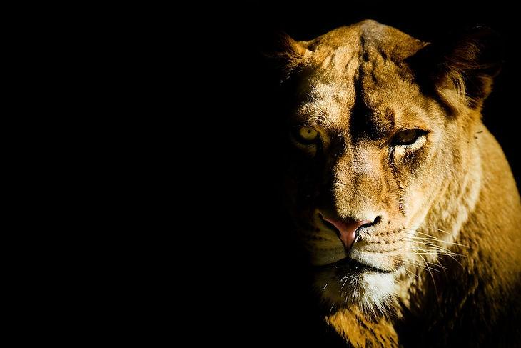 Lioness Reduced.jpg
