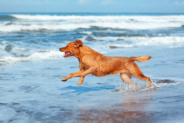 Healthy and happy dog running in the ocean