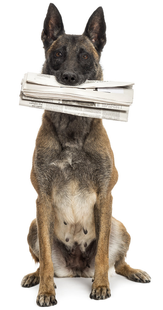 Fetch! Doge bringing the newspaper