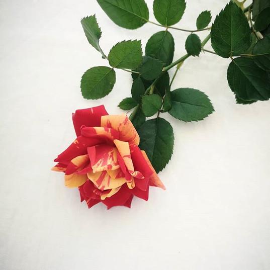 """ベランダで咲いたバラ。_時々こんな風に""""ぶち""""になります。__#ベランダー #g"""