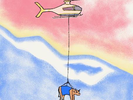 Vacas a andar de helicóptero