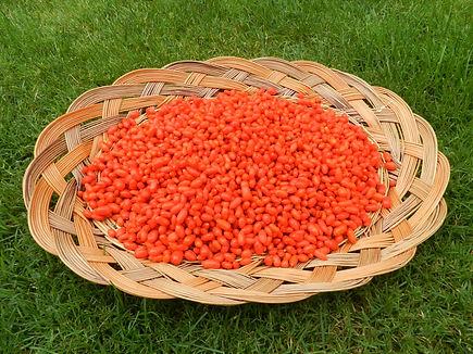 Récolte Goji - Terre de Goji - Isère, Tullins, Alpes, France