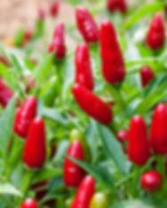 thai-hot-pepper.jpg